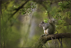 eastern gray squirrel (Christian Hunold) Tags: easterngraysquirrel treesquirrel squirrel mammal bokeh woods morning valleyforge pennsylvania christianhunold