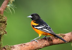 Baltimore Oriole (anacm.silva) Tags: baltimoreoriole oriole ave bird wild wildlife nature natureza naturaleza birds aves bocatapada costarica icterusgalbula ngc