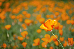 Poppy Flower (Chen Yiming) Tags: berkeley ucberkeley university universityofcalifornia california bayarea sanfranciscobay campus poppy flower californianpoppy blossom