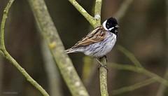 J78A0491 (M0JRA) Tags: birds parks gardens rspb lakes ponds fields trees nature