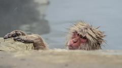 Nagano - Jigokudani - 14 (coopertje) Tags: japan nagano snowmonkey monkey jigokudanimonkeypark jigokudanijaenkoen sneeuw snow sneeuwmakaak macaque japanesemacaque cold onsen hottub hotspring water