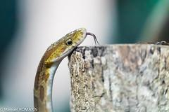 Neotropical rat snake (Manuel ROMARIS) Tags: costarica monteverde neotropicalratsnake provinciadepuntarenas cr