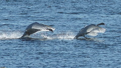 Mute swan (Cygnos olor) aggression (Lenholmen, Parainen, 20170415) (RainoL) Tags: 2017 201704 anatidae april bird birds cygnus cygnusolor fin finland fz200 geo:lat=6024150463 geo:lon=2220742463 geotagged kyhmyjoutsen lenholma lenholmen mattholmsfladan muteswan parainen pargas spring swan varsinaissuomi