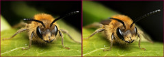 3-D A cute male miner bee #2 (Lord V) Tags: 3d macro bug insect bee minerbee