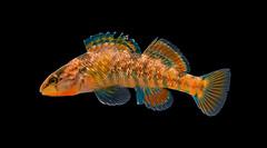 Rainbow Darter - Etheostoma caeruleum (Matthew Ignoffo) Tags: matt matthew ignoffo southern illinois microfishing fish rare endangered threatened creek stream river pond fishing animal