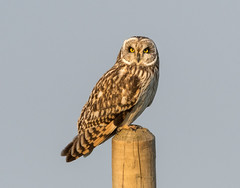 Short Eared Owl (Lesley Danford) Tags: short eared owl asio flammeus perched nature wildlife