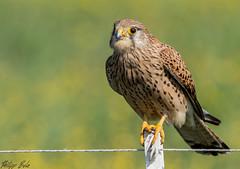 Turmfalke Kestrel female (Silu Junior) Tags: kestrel turmfalke falke vogel greifvogel tier animal falcon hawk bird predator