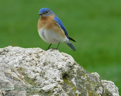 170421-6801 (pwberge) Tags: uccelli fugle birds oiseaux bluebird