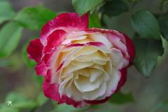 Romantic rose (Jasmina Maric) Tags: rose petals romantic serbia jasminamarić love floral nature