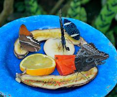Key West (Florida) Trip 2016 0204Ri 5x6 (edgarandron - Busy!) Tags: florida keys floridakeys keywest butterflyhouse keywestbutterflyandnatureconservatory butterfly butterflies insect insects
