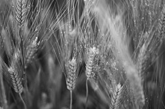 spighe (ΞSSΞ®®Ξ) Tags: ξssξ®®ξ pentax k5 spring 2016 countryside lazio italy field perspective outdoor depthoffield plant smcpentaxm50mmf17 grass bokeh evening droplets wheat landscape monochrome spighe
