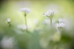 Allium ursinum (xipevideo) Tags: allium ursinum macro dof white green ant spring beauty 105mm nikkor nikon