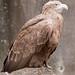 Seeadler  Sea Eagle