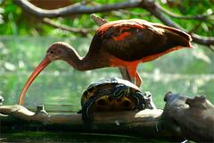 the ibis and the turtle (atsjebosma) Tags: bird ibis red turtle schilpad macro bokeh water takken branches atsjebosma oceanografic valencia spain spanje wonderfulplace ngc npc