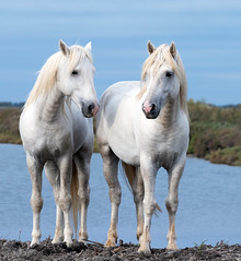 2016 Best Two Camargue Stallions (17) (maskirovka77) Tags: saintlaurentdaigouze languedocroussillonmidipyrén france languedocroussillonmidipyrénées fr stallion stallions createaway