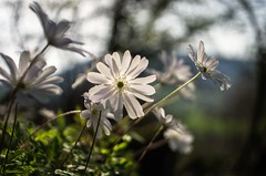 wildflowers on the tufa hills of the valley of horses (ΞSSΞ®®Ξ) Tags: ξssξ®®ξ pentax k5 angle 2017 bokeh backlight green white depthoffield plant blooming anemoneapennina outdoor countryside sky kepcorautowideanglemc28mm128 forest spring light wind wildflowers flowerbed tufahill thevalleyofhorses woodland flower macro magic