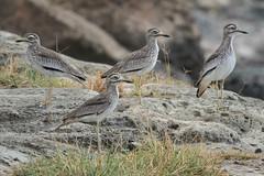 Senegal Thick-knees (Tim Melling) Tags: senegal thickknee burhinus senegalensis ethiopia timmelling