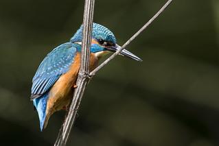 Kingfisher - playing Peekaboo!!