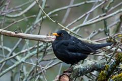 Blackbird (Tadas Telksnys) Tags: lithuania lietuva nature bird blackbird turdusmerula juodasisstrazdas eurasianblackbird animal avian garden gardenbird