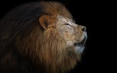 Prachtbursche (ellen-ow) Tags: katzenartige raubtiere raubkatze löwe lion fleischfresser tier groskatzen säugetier nikond4 ellenow sigma150600s