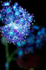 Mountain Lilac (C. Burrows) Tags: mountainlilac lilac flowers blue glowing surreal uvivf