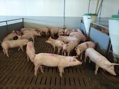 Schweinestall-006
