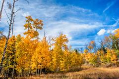 Gold and Blue (Dances With Light) Tags: aspen trees bluesky sony a350 sonya350 dwl danceswithlight colorado fall cuchara