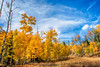 Gold and Blue (Dances With Light) Tags: aspen trees bluesky sony a350 sonya350 dwl danceswithlight colorado fall cuchara