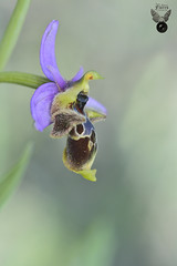 OPHRYS SCOPOLPAX 03 (JuanMa-Zafra) Tags: ophrys scolopax orquídeas macro d700 105mm nikon flash difusor reflector tubos extensión zafra extremadura campo