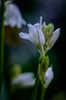 Atlantisches Hasenglöckchen - Hyacinthoides non-scripta (study 3 of 3) (tuvidaloca) Tags: studie blossom fine blando macro atlantischehasenglöckchen primerplano white nahaufnahme commonbluebells desenfoqueparcial inflorescence weis flower closeup flor floración delicate fino makro vistadecerca hyacinthoidesnonscripta bokeh jacintoatlantico blütenstand infloreszenz dof inflorescencia blütezeit heyday estudio bokehextreme blüte blanco zart apogeo study whitespanishbluebells grácil desenfoque jacintoblanco