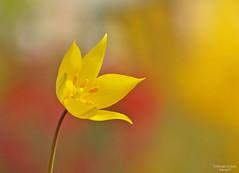 Tulipano giallo (ape maya77) Tags: tulipano giallo yellow flower rosso red campo giardino garden panasonic fz200 lumix