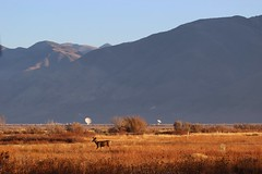 Black Mountain Shadow (RStonejr) Tags: deer nature canon animal dslr animalplanet owensvalley bigpine us395 wild wildanimal field highway395 morning shadow telescope radiotelescope california wideopen ca fall fallcolours canondslr