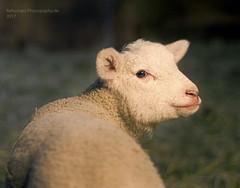 zum letzten Mal... (rafischatz... www.rafischatz-photography.de) Tags: sheep texel lamb animal pentax grandpa