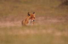 Red Fox (Vulpes vulpes) Netherlands (wildlife_photo) Tags: red fox vulpe netherlands garry smith nature wildlife eild holland amsterdam beach dunes canon 7d wild flickr coastal mamals mamal