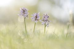 Les 3 soeurs (donlope1) Tags: flower nature field hayfield grass flora outdoors blur floral blooming season orchid lactea neotinea orchis orchidée wild sauvage lactée dew bokeh light macro proxy proxi