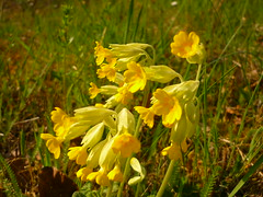 Schlüsselblumen-Blüten (Jörg Paul Kaspari) Tags: echte schlüsselblume primula veris primulaveris gelb gelbe yellow blüte blüten flower