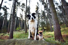 my little dream boats (lisheeny) Tags: dogs pets canine chihuahua border collie forest peak district littledoglaughedstories