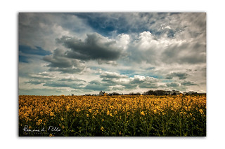 Rapeseed and Fluffy Clouds