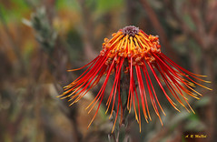 A Pretty Umbrella - Kula, Maui (Barra1man) Tags: aprettyumbrella protea tropicalflower tropical flower nature garden red upcountry kula maui hawaii unitedstates olympus olympusem1 iso800 lens300mm f5615000
