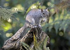 Grey Squirrel (Frozen in Vision) Tags: sceau gris ardilla graues eichhörnchen 灰松鼠 グレーリス серый белок ग्रे गिलहरी السنجاب الرمادي סנאי אפור grey squirrel