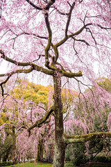Cherry Blossom Tree (Pai Shih) Tags: trees 京都 flora nature flowers 日本 kyoto sakura japan cherryblossom