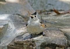 Black-crested Titmouse (1krispy1) Tags: titmouse blackcrestedtitmouse texasbirds