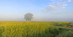 IMG_0003x (gzammarchi) Tags: italia paesaggio natura pianura campagna ravenna borgomontone fiore colza nuvola nebbia