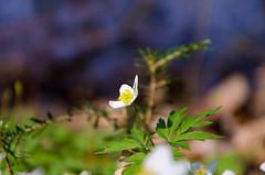 Der mystische See (Oli_21) Tags: blume flower wald forest see lake moor wandern hiking abenteuer adventure nikon sigma d5100 wunderland wonderland macro makro bokeh blüte blossom petal frühling spring mystic mystisch natur nature