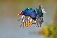 Purple Gallinule in Flight (MyKeyC) Tags: ronbielefeld flight porphyrulamartinica purplegallinule florida lake kissimmee bird birds laakekissimmee