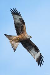 Red kite (Shane Jones) Tags: redkite kite bird birdinflight birdofprey raptor nature wildlife nikon d500 200400vr tc14eii
