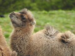 Hello up there (Sharon B Mott) Tags: camel babyanimal animal yorkshirewildlifepark april calf