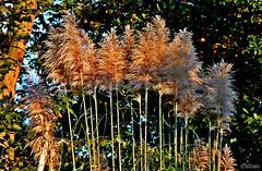Plumeros (Franco D´Albao) Tags: francodalbao dalbao lumix plant plumeros planta parque park