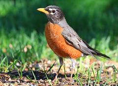 American robin at Lake Meyer Park IA 854A9805 (lreis_naturalist) Tags: american robin lake meyer park winneshiek county iowa larry reis