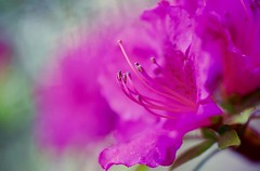 The Awakening (j man.) Tags: theawakening cool flower beautiful blossom color colors light lighting details texture focus dof depthoffield blurred background pink spring macro macrophotography floralphotography petals composition jman bokeh dreamy dream